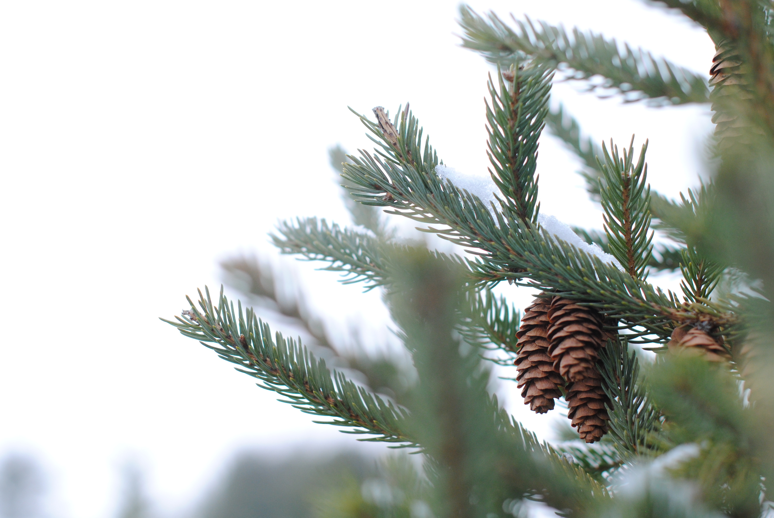 Pinecones at a christmas tree farm in WI.