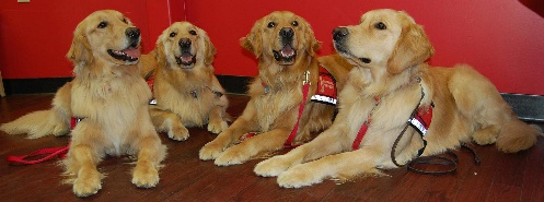 st francis golden retrievers.jpg