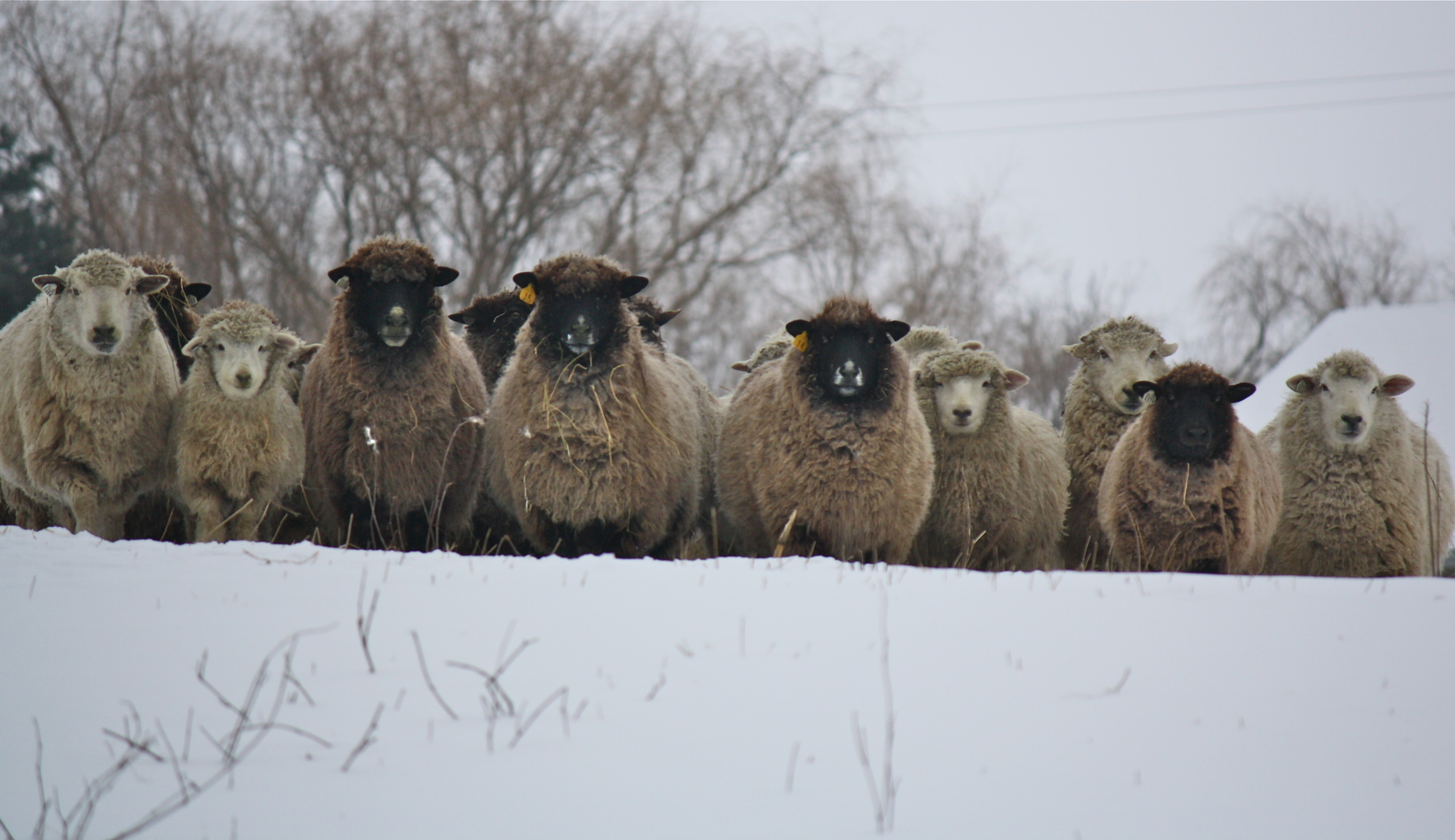 The day the sheep were happy to see me.