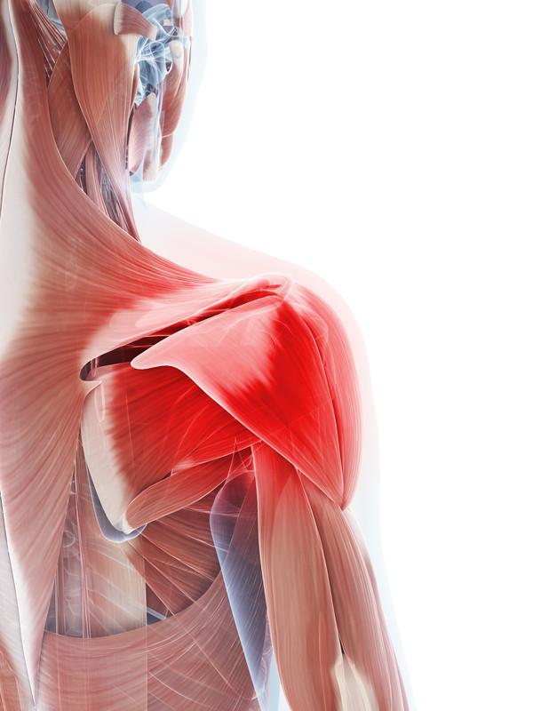 De spieren rondom de schouder