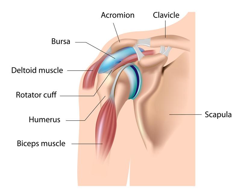Schouder met schouderblad (scapula), bovenarm(humerus), sleutelbeen (clavicle), spieren en pezen en de slijmbeurs (bursa)