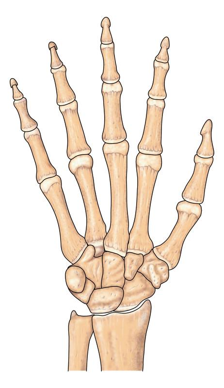 De beenderen van de hand.