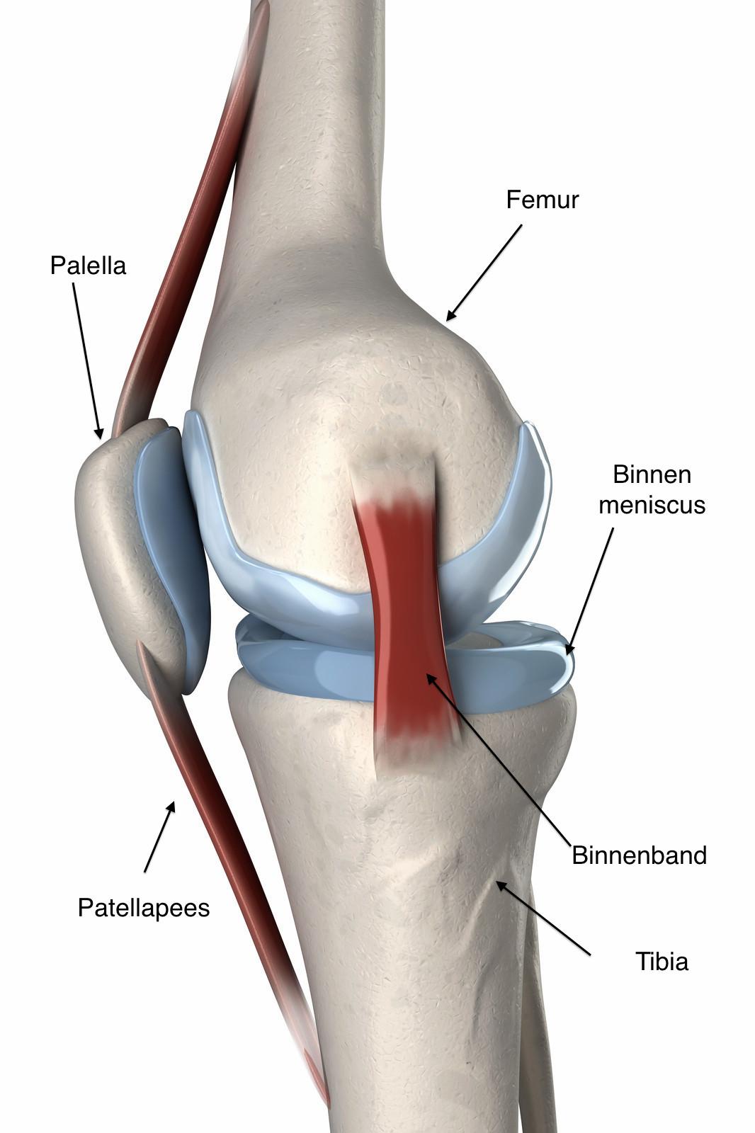 De anatomie van de knie