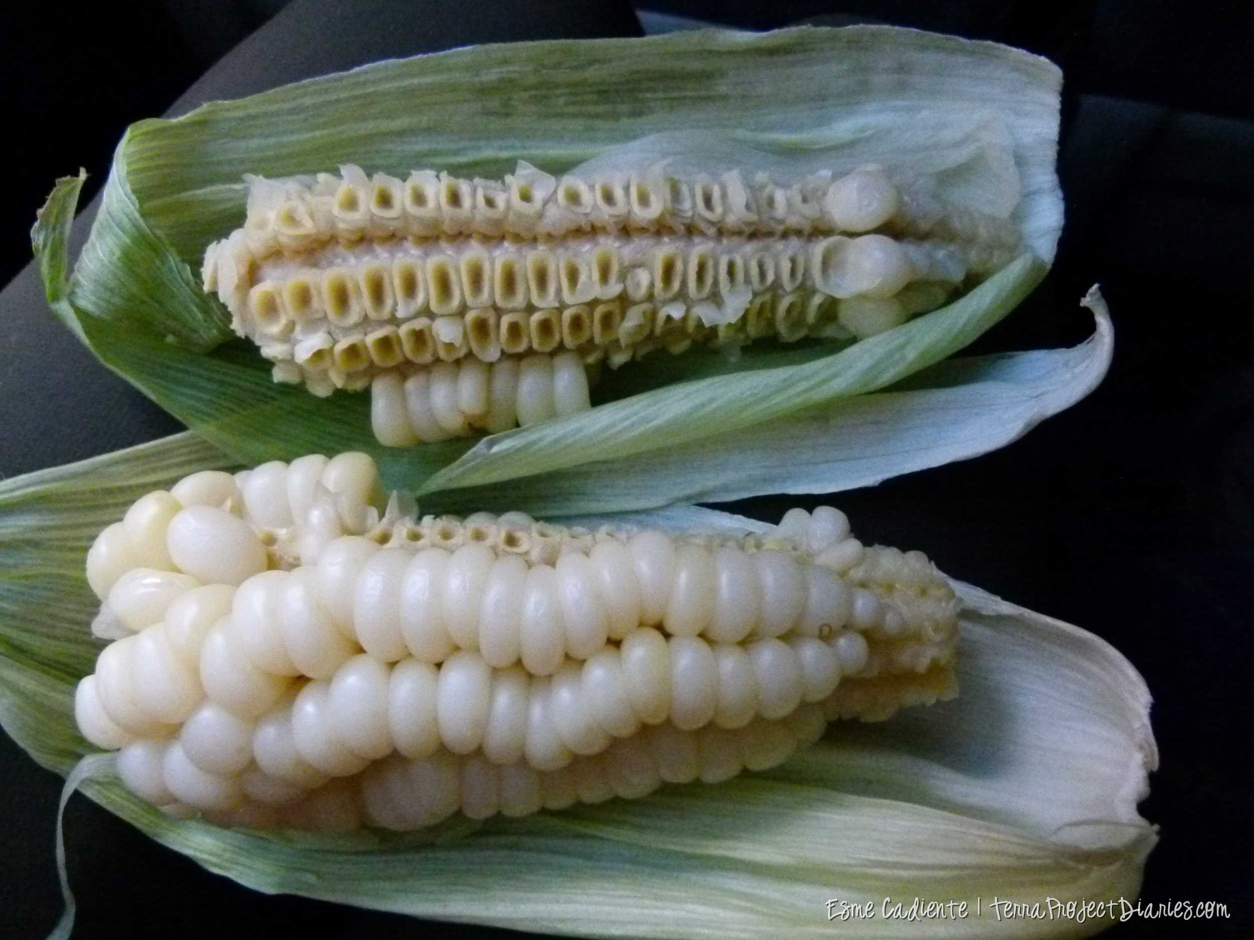 Choclo, an ancient strain of corn. Its fat, dry and meaty. Peru doesn't have a problem with mono-cropping!