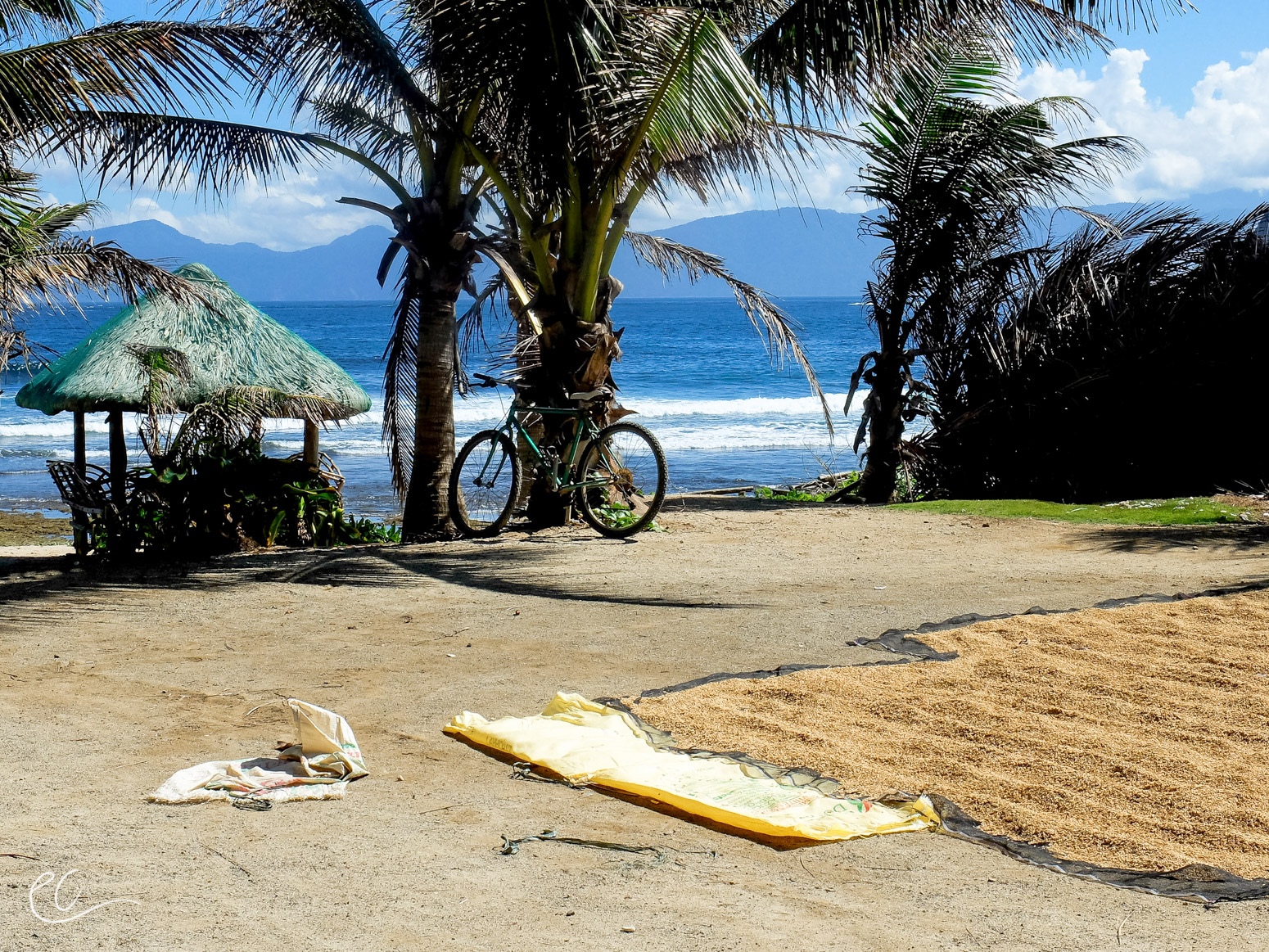 Rice drying on the beach after the storm.
