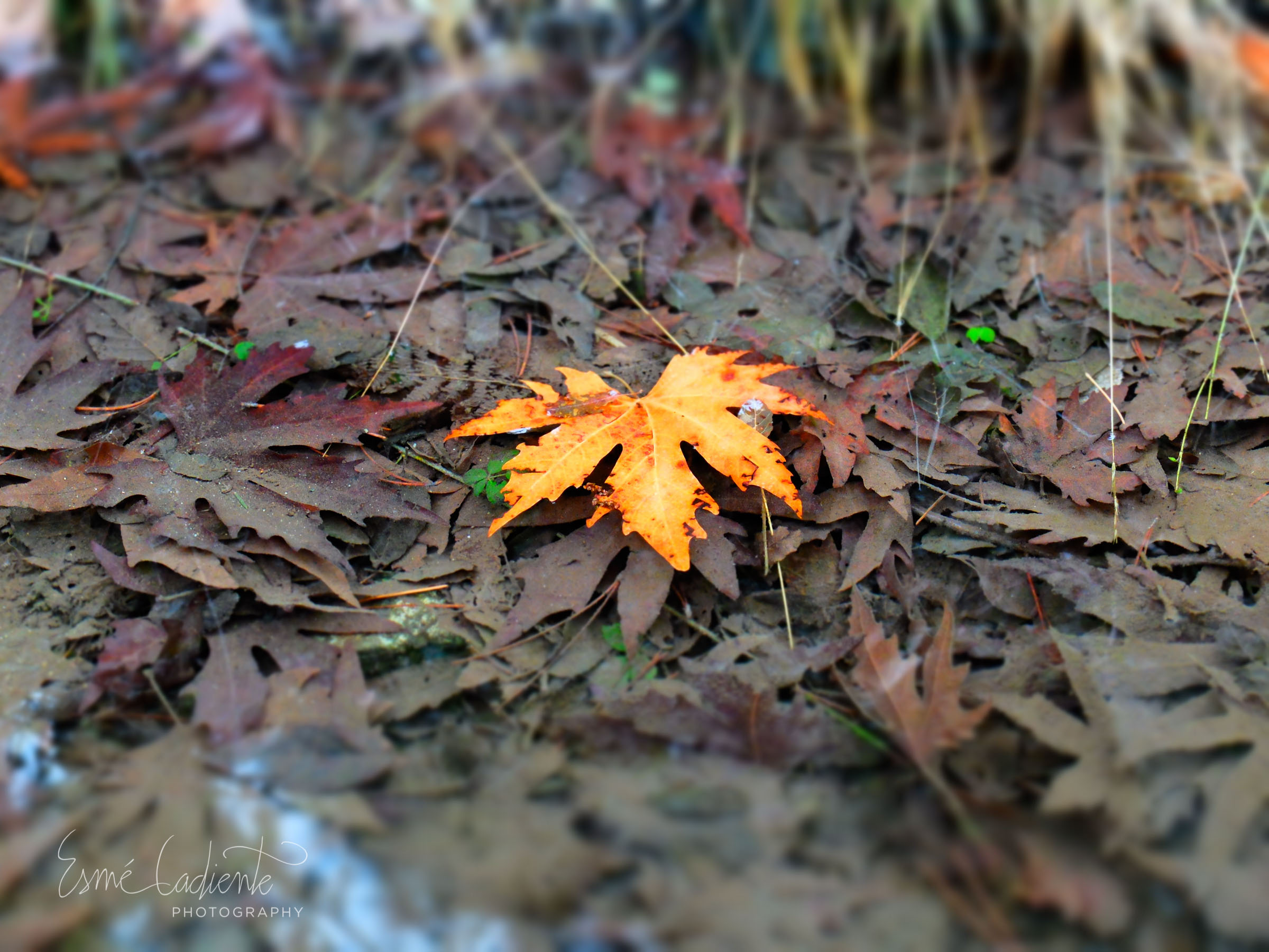 The last golden leaf, Mt. Olympus