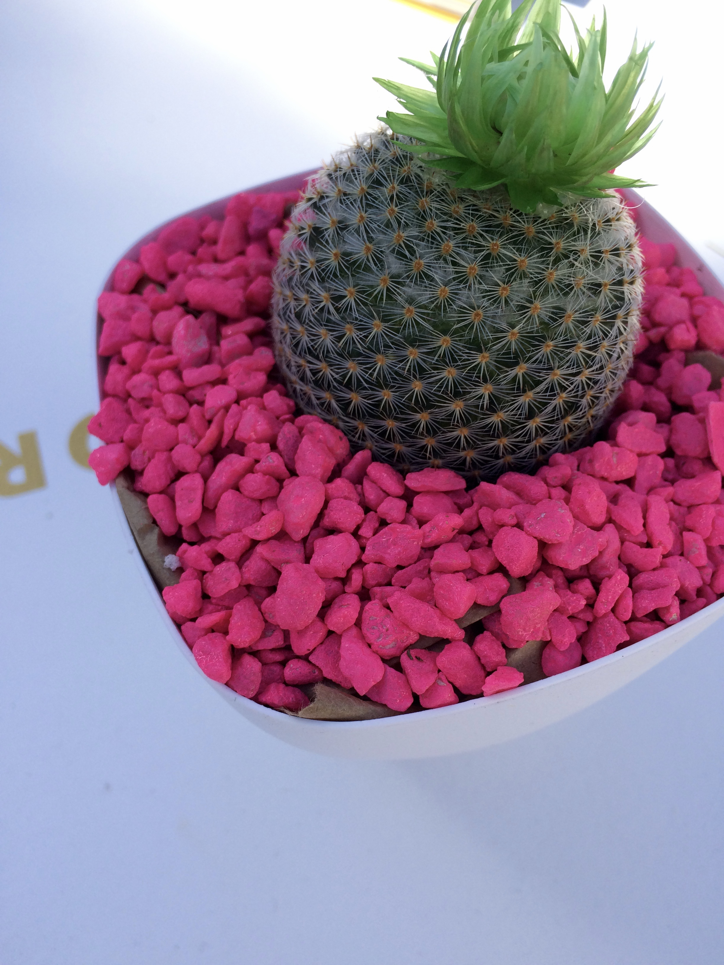 Are these not the cutest little cacti?