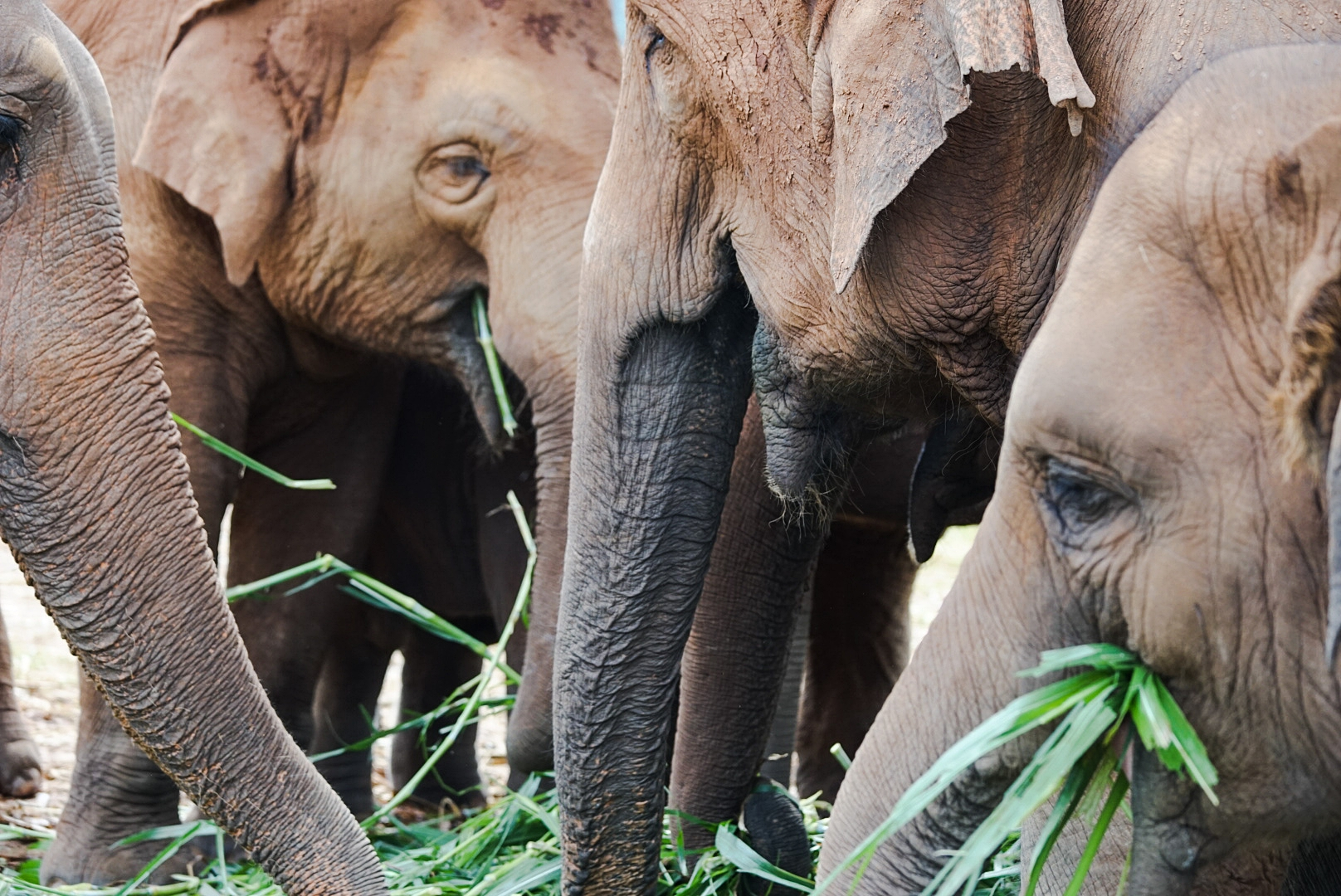 WILD THINGS: A herd of Asian elephants enjoy their tasty vegetation - Chiang Mai, Thailand