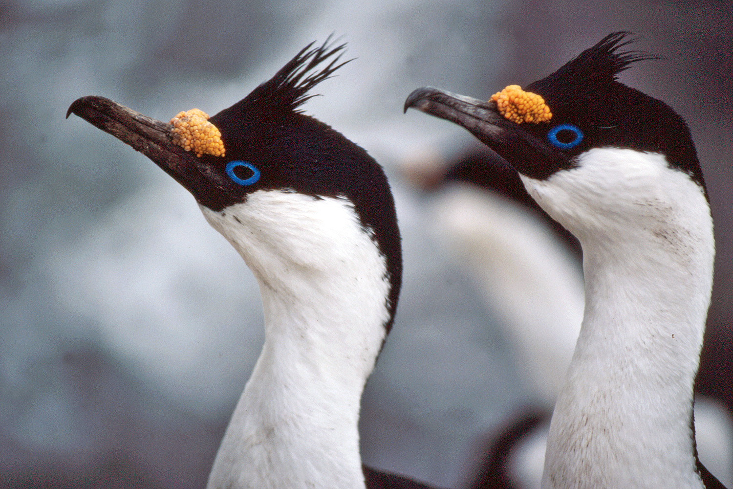 Blue Eyed/Imperial Shag