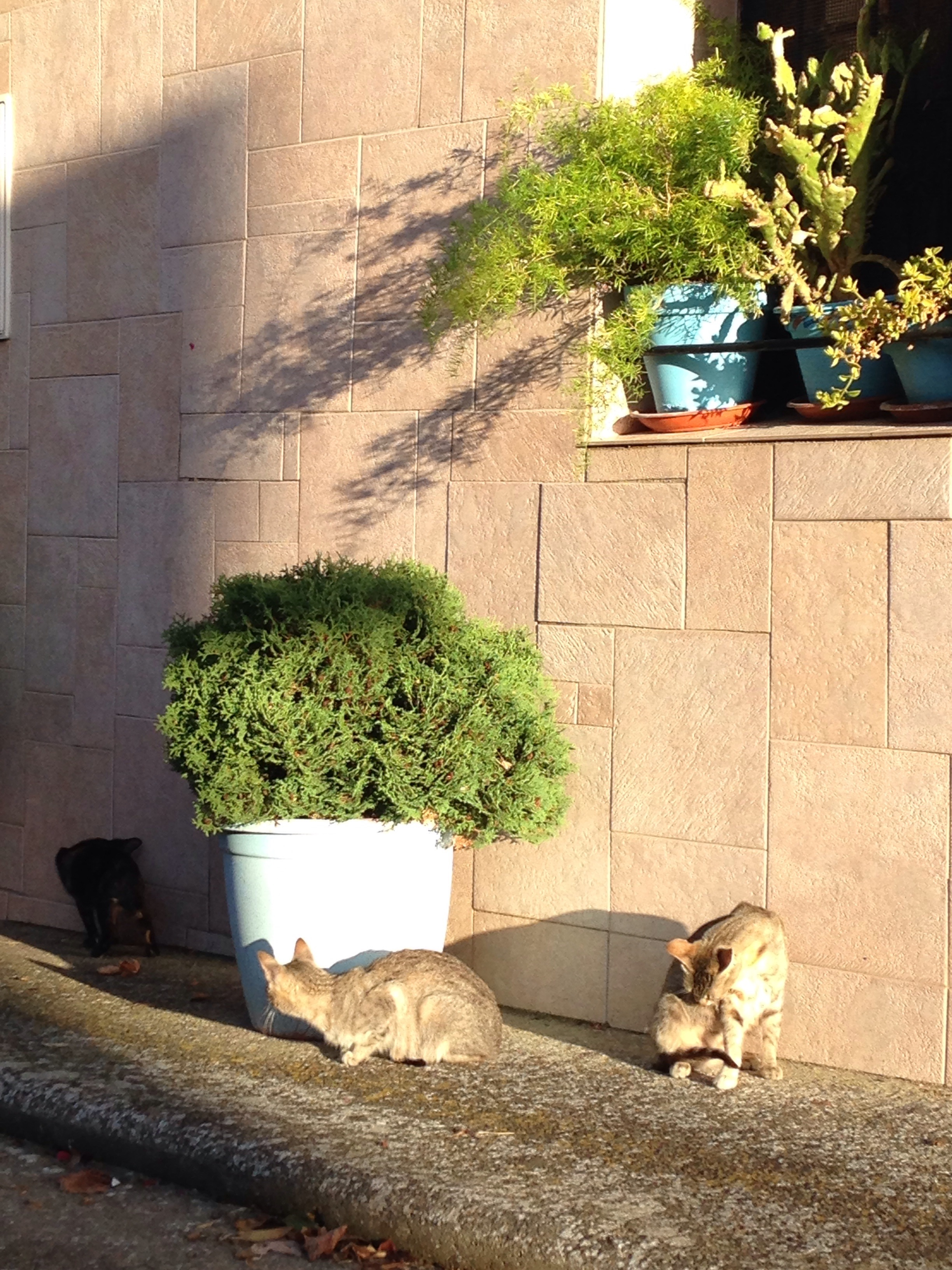 12 Spanish cats equals one of Freya