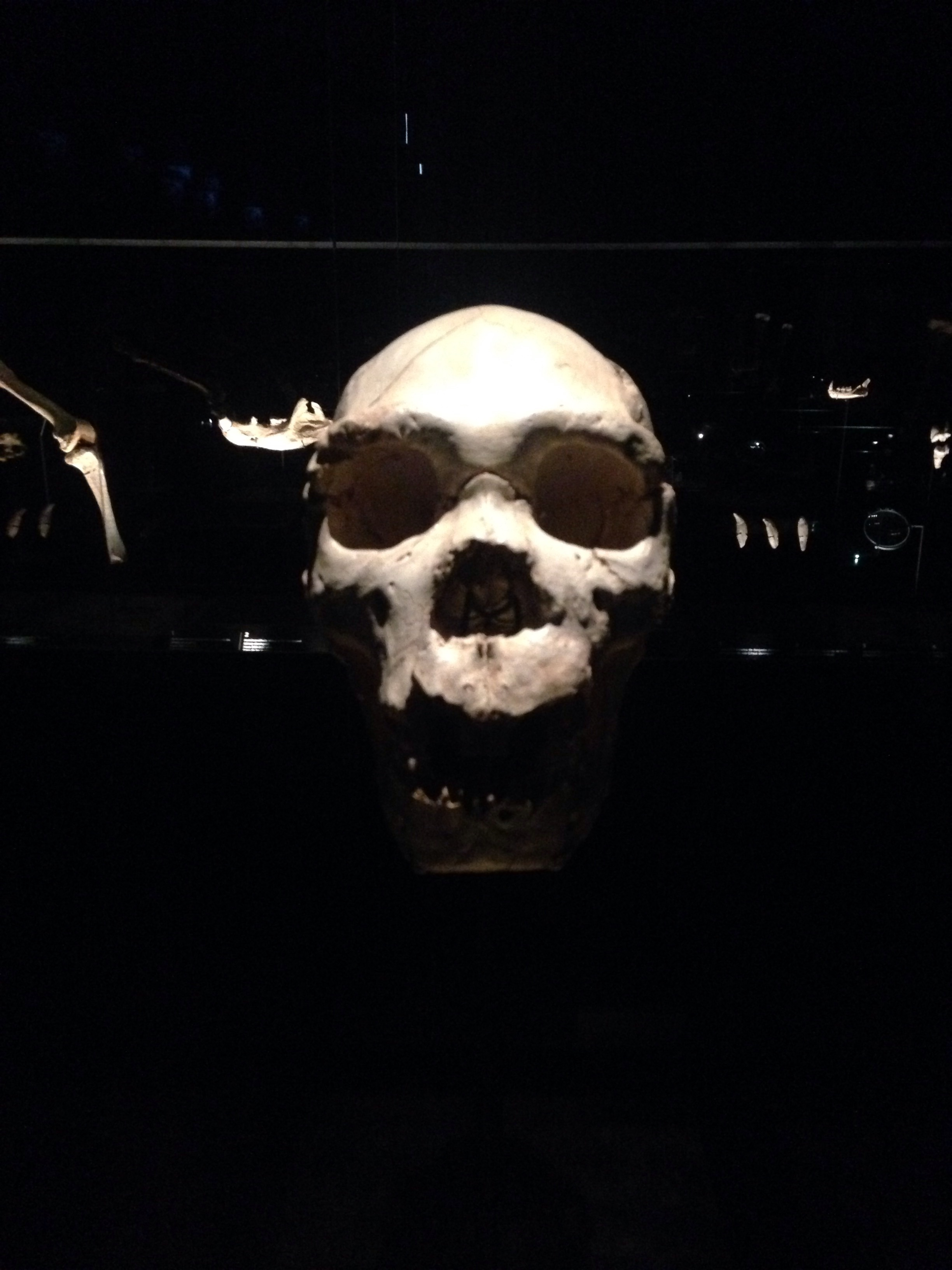 Burgos' evolution museum, this skull was discovered at Atapuerca