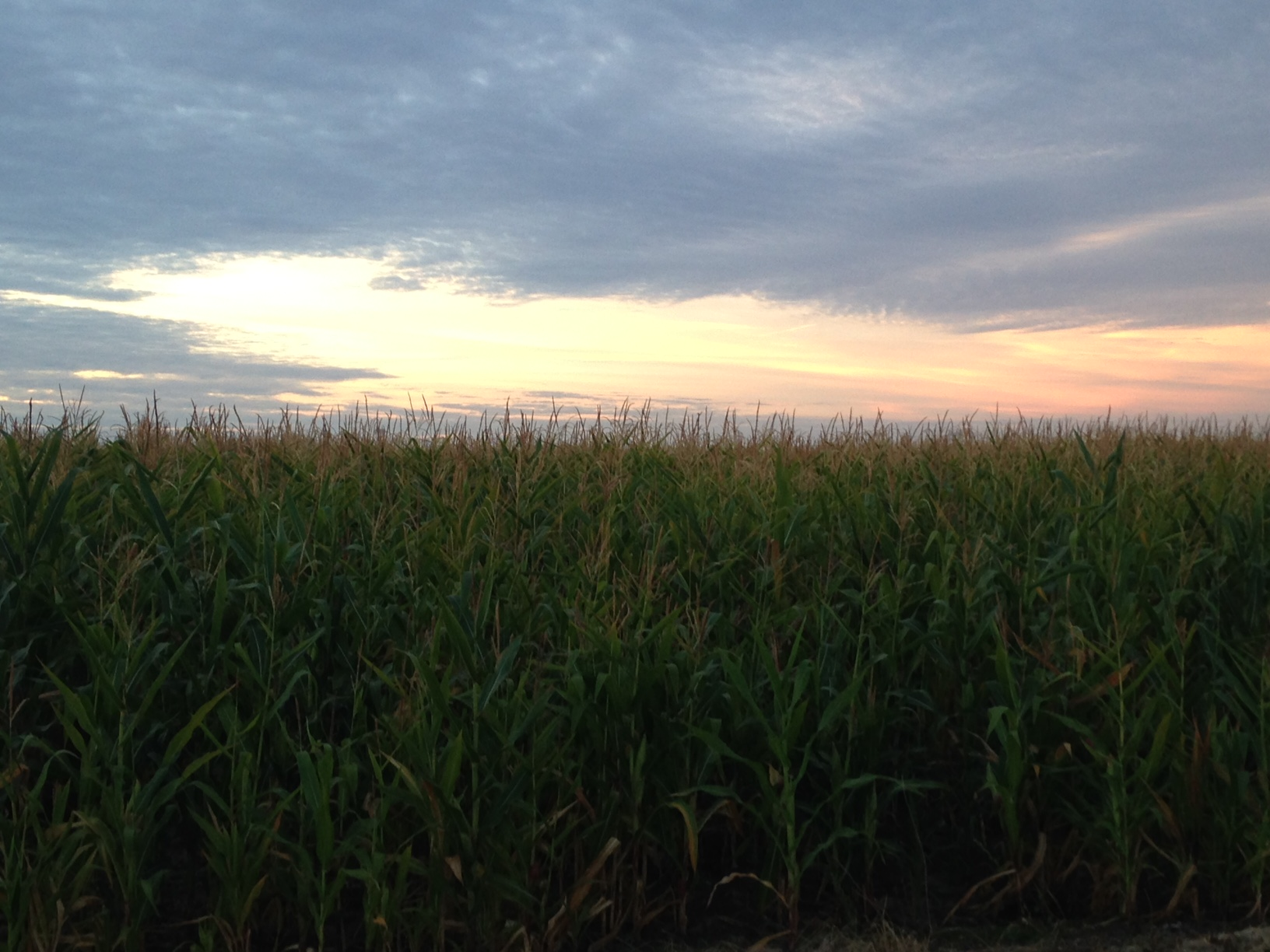 Sunrise through corn stalks. It's actually quite creepy to walk through corn during the pre-dawn. believe it or not.