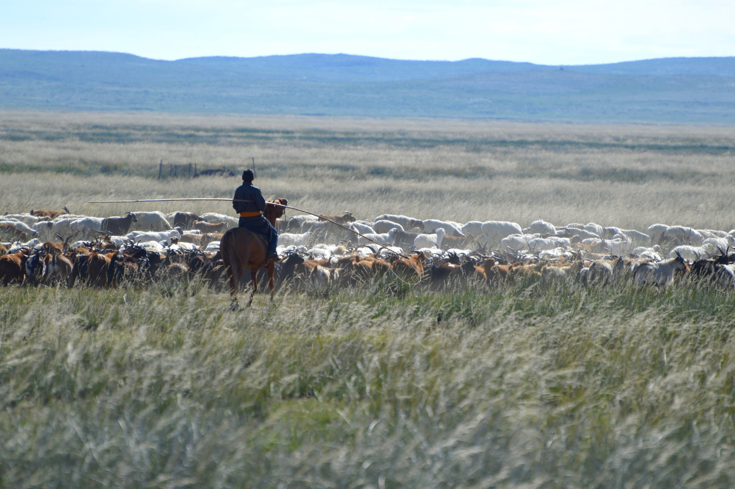 A Mongolian herdsman moves his goats and sheep
