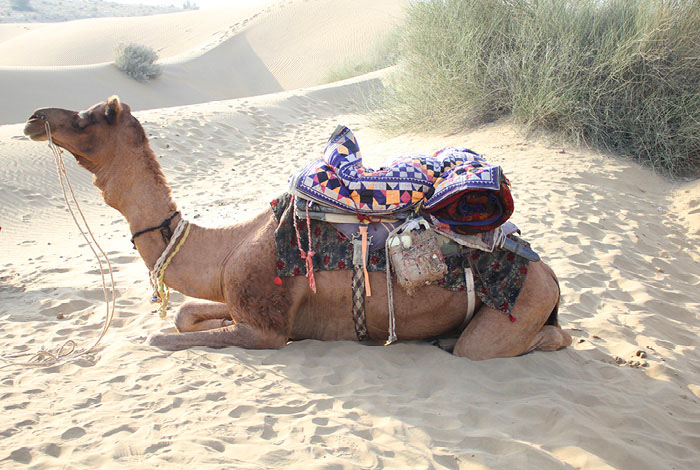 A resting,smiley camel in the Thar Desert © Claire Orrell 2015
