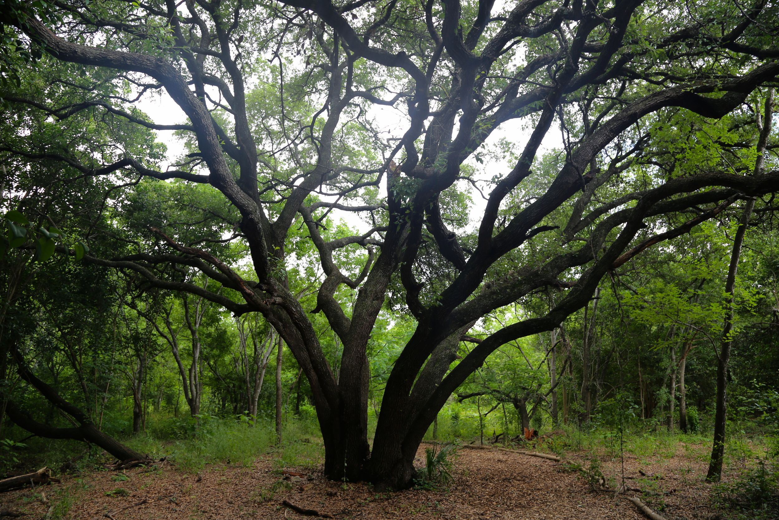 We hiked along a path with a number of gorgeous old oak trees. Whereas these trees allow light to reach the forest floor, some invasive trees in this region have dense canopies that block light below, preventing growth of other native species.