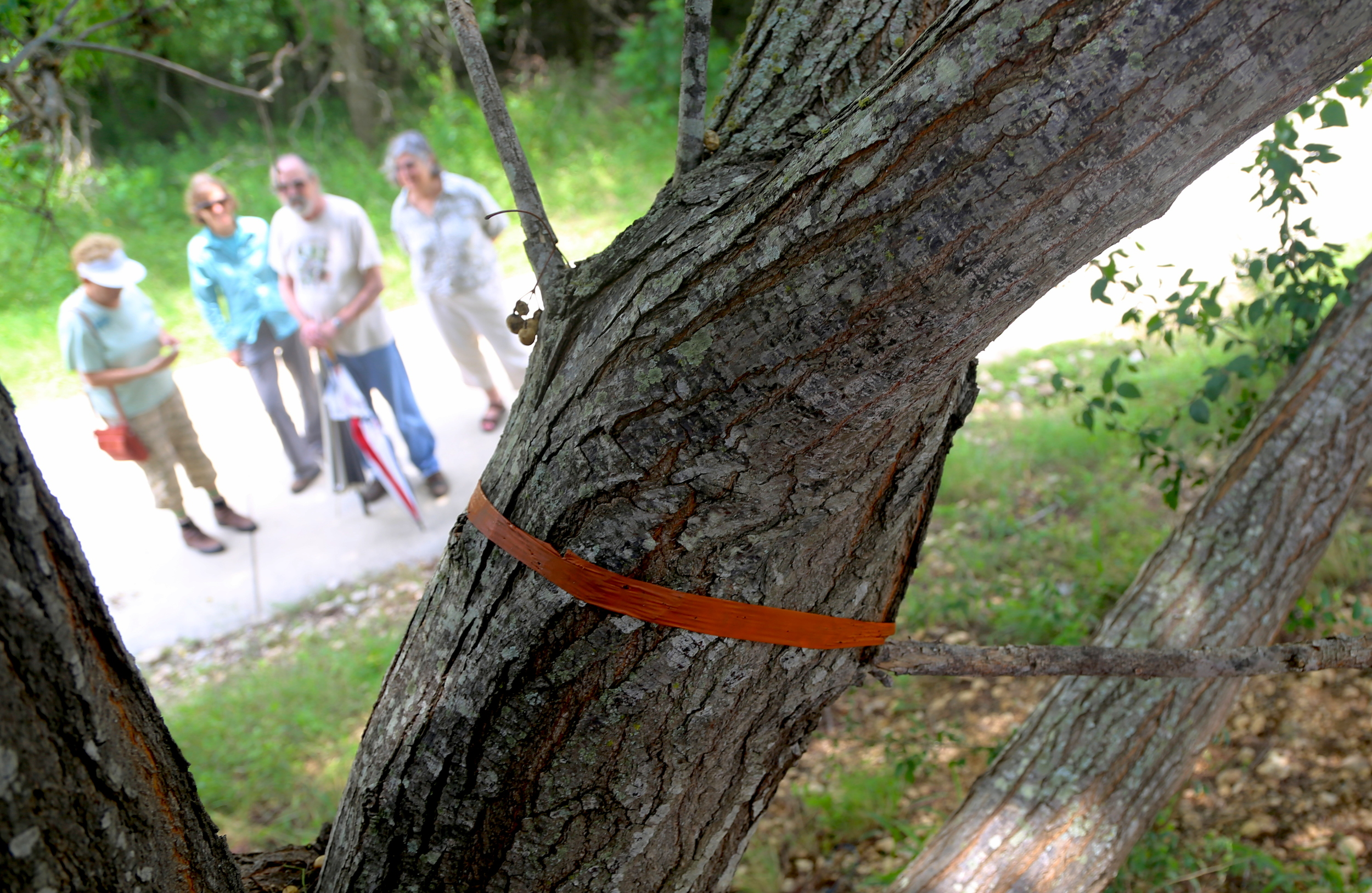 The government sometimes restricts where he Balcones Invaders can remove invasives. The removal group marked this invasive tree for removal months ago, but the government still hasn't acted. Meanwhile, the tree continues to spread its seeds.