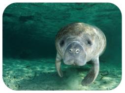 Wildlife Facts: Manatees