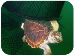Wildlife Facts: Loggerhead Turtles