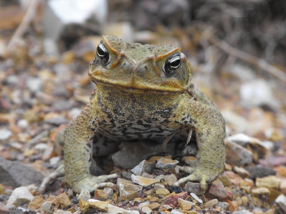 cane-toad-162752_960_720.jpg