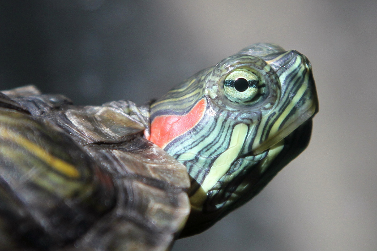 Red-Eared Slider — Invasive Species Initiative