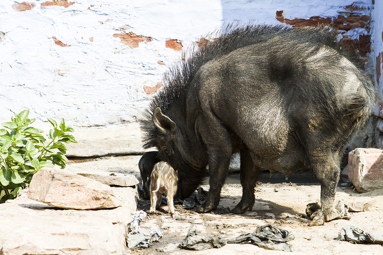 i love the way the hog is looking at me with his beady eye....