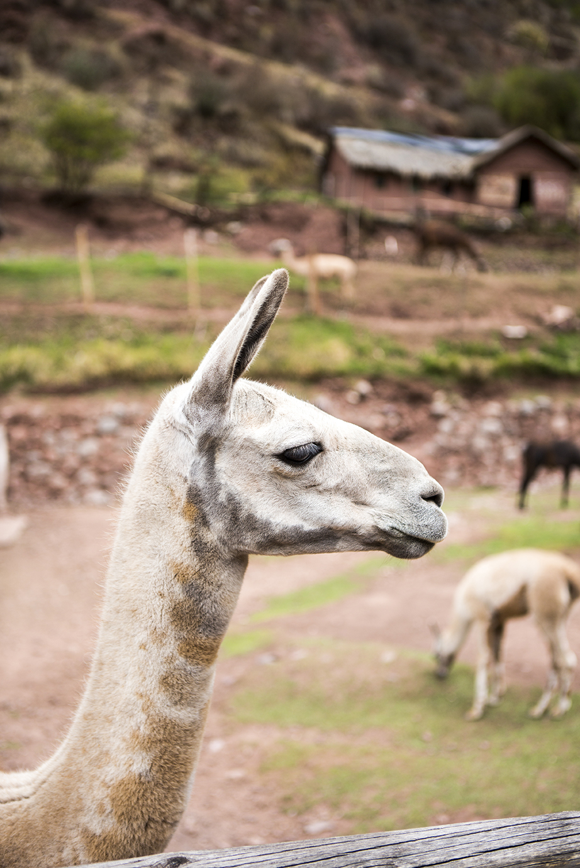 Awana Kancha alpaca farm_1.jpg