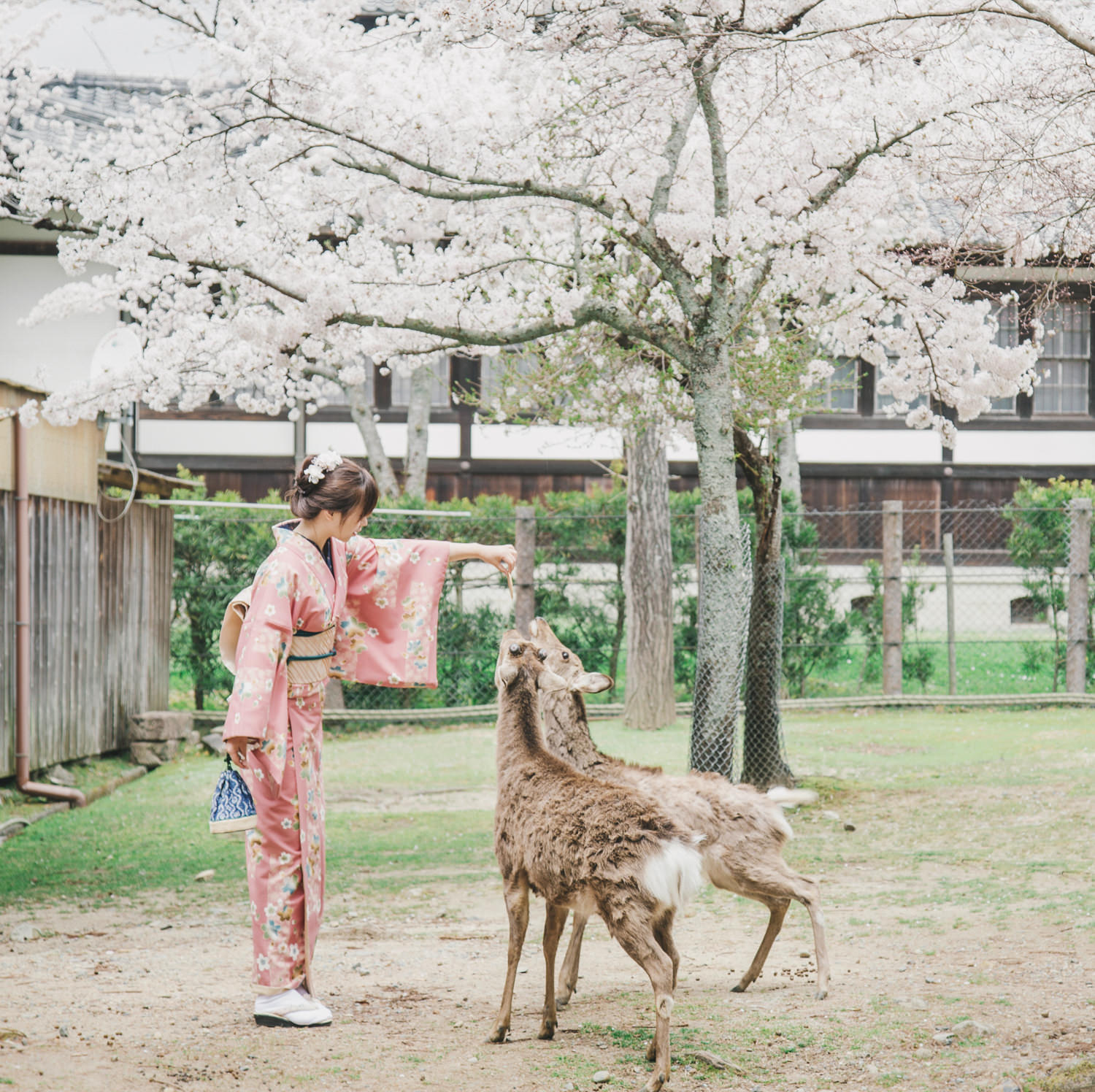 Cherry_Blossom_Pre_Wedding_Photo_in_Nara_with_deer_by_CHYMO_&_MO
