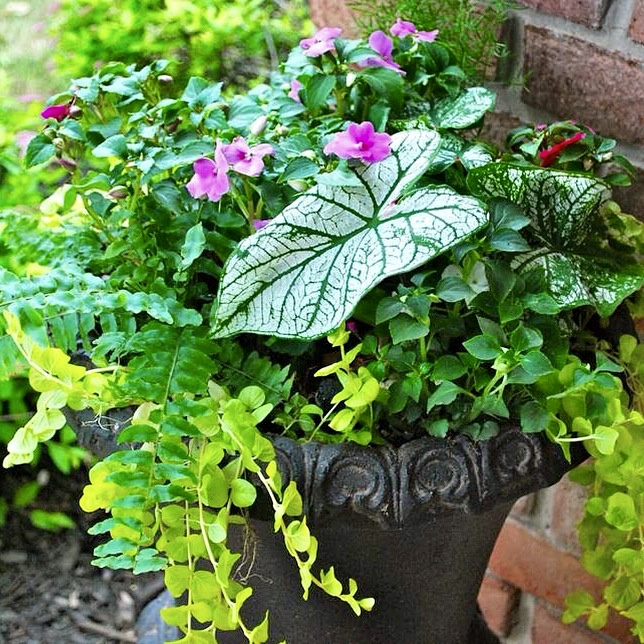 LOVE THIS PLANT!   Need a thriller for a shady spot? You must try caladium. It comes in many different color combinations - reds,pinks, greens and whites. I happen to love the white and green combo in the picture above. Pair it with moneywort,impatiens and asparagus fern and you have a beautiful container garden that's made for the shade.