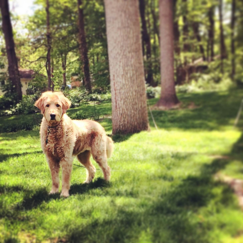 This Doodle Giant LOVES being outside... short summer cut hair!