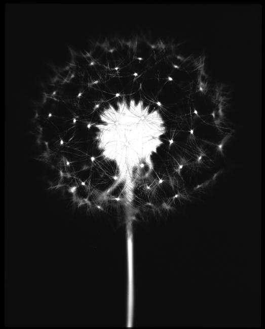 "Dandelion  ,  2000, 14"" x 11"", Unique Silver print"