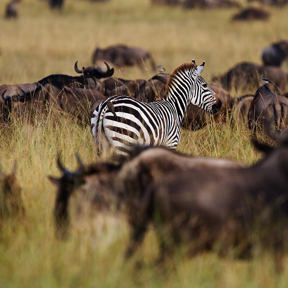 zebra kenya gallery.jpeg