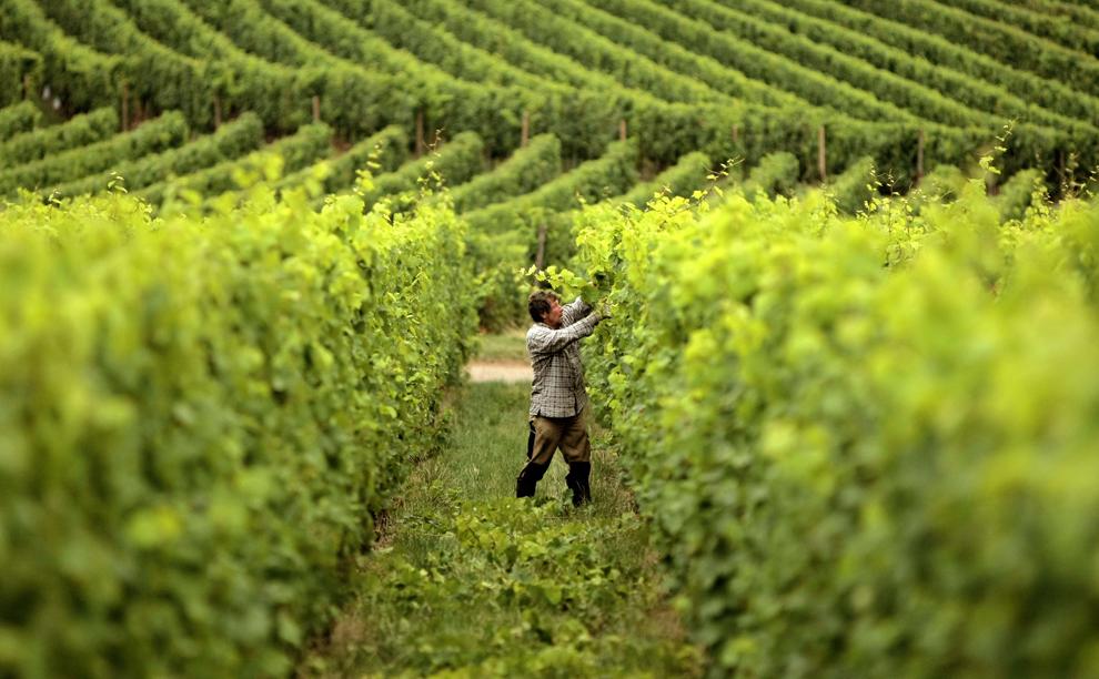 vino-uva-vendemmia.jpg