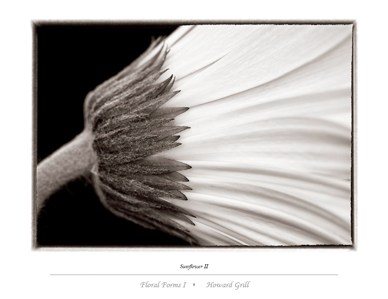 Black and white sunflower photograph.