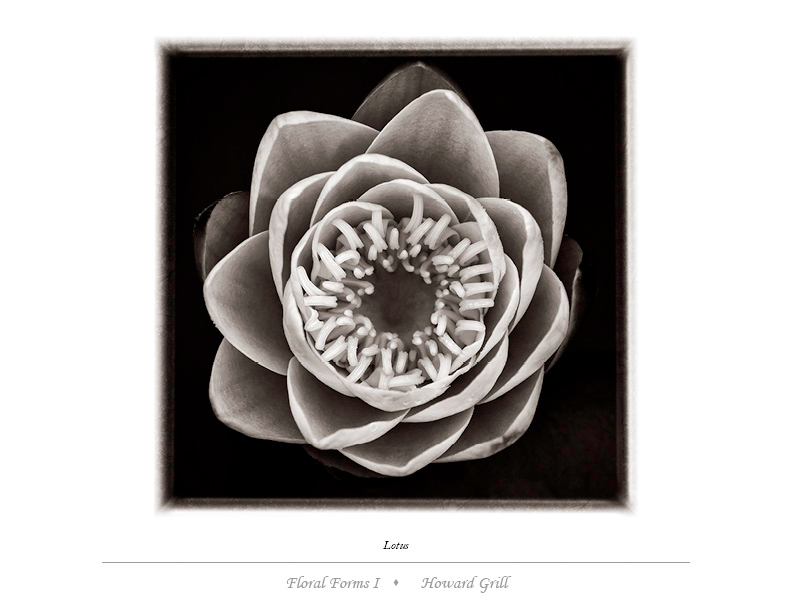 Lotus photograph in black and white
