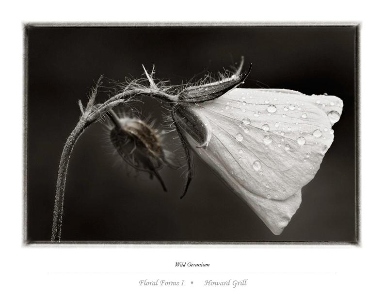 Wild geranium or geranium maculatum photograph