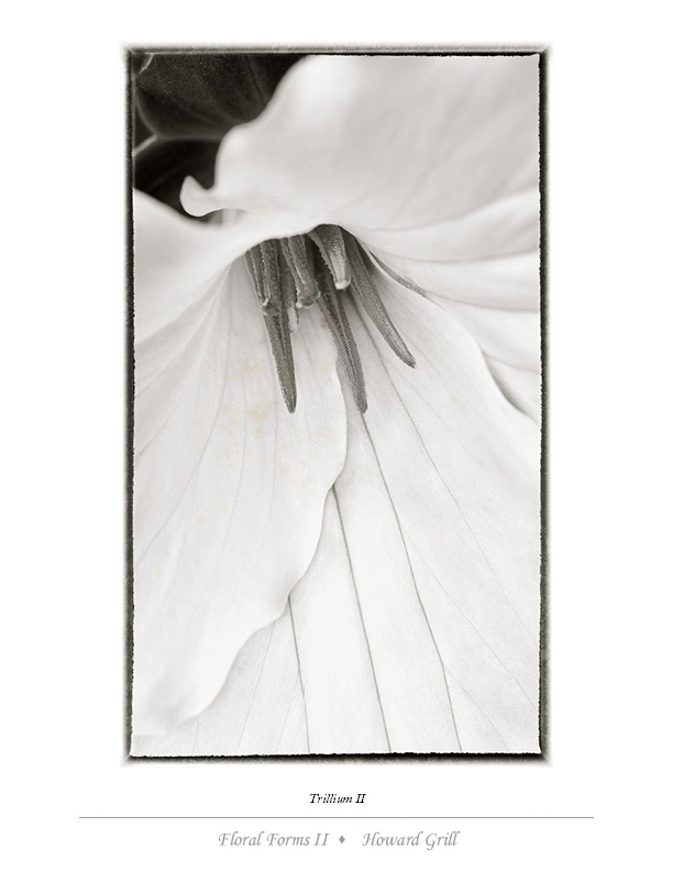 Black and white trillium photograph from the Floral Forms II folio.