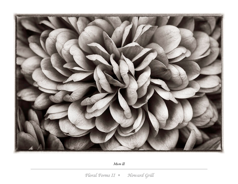 Black and white mum photograph from the Floral Forms II folio.
