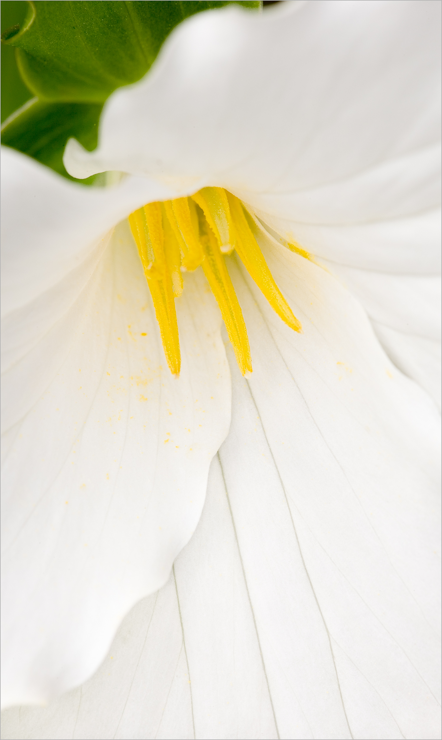 Trillium grandiflorum, Hell's Hollow, McConnell's Mill State Park  © Howard Grill