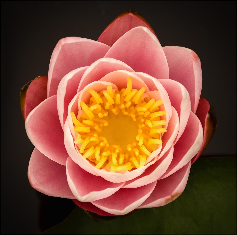 Lotus Flower  © Howard Grill