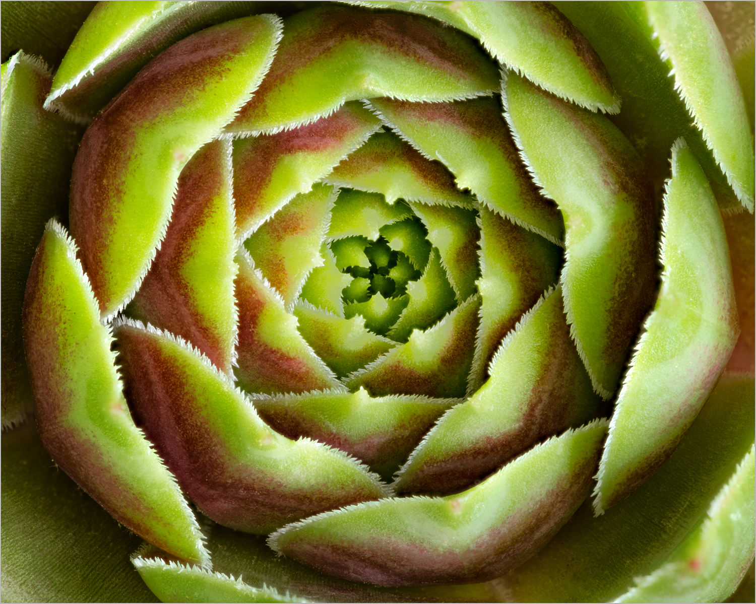 Sempervivum or Hen And Chicks    © Howard Grill