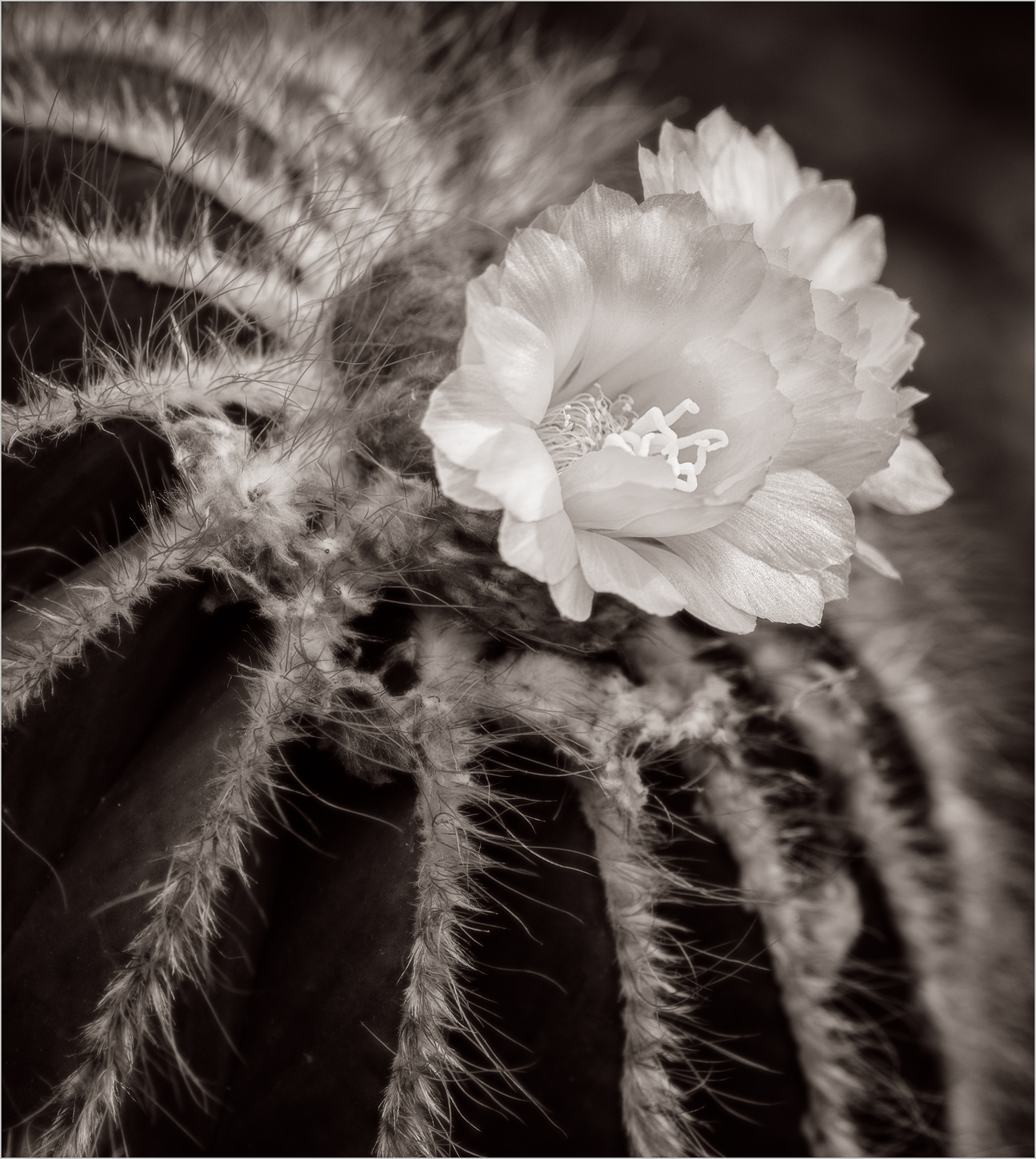 Barrel Cactus In Bloom    © Howard Grill