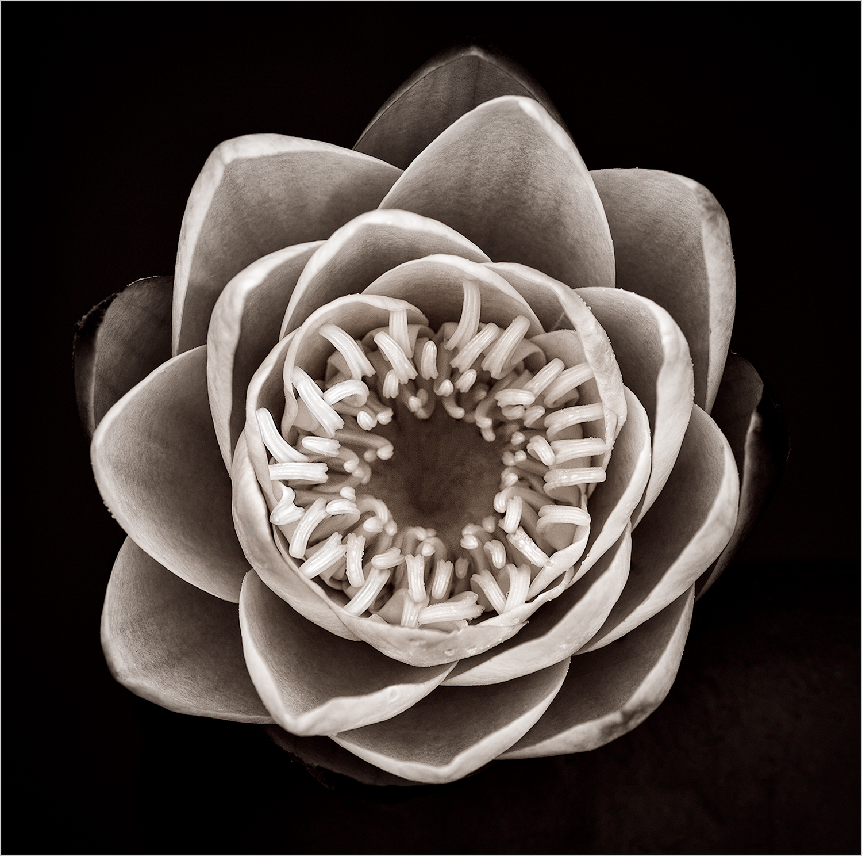 Lotus  © Howard Grill