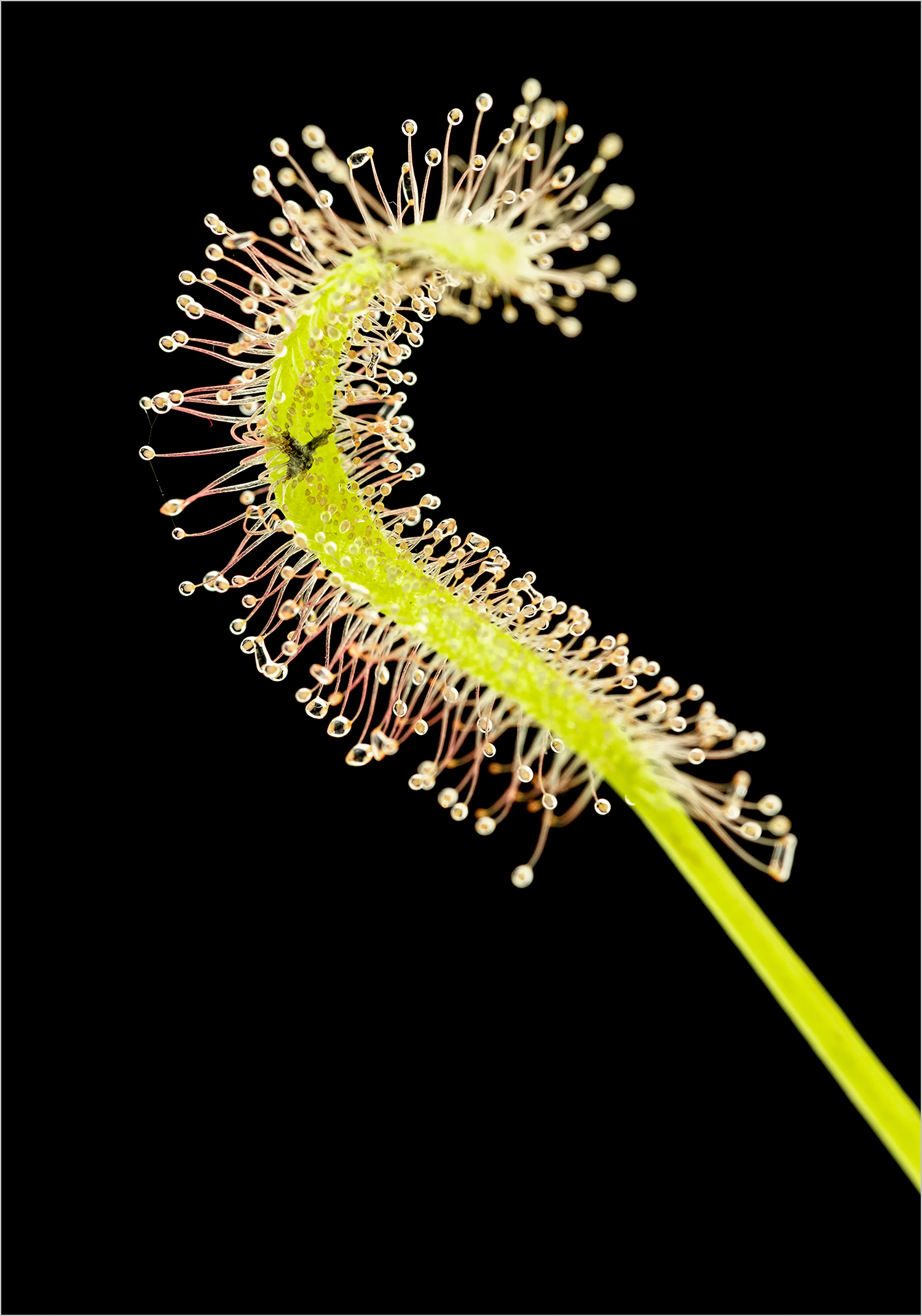 "Drosera capensis ""Albino"" having a bite to eat © Howard Grill"