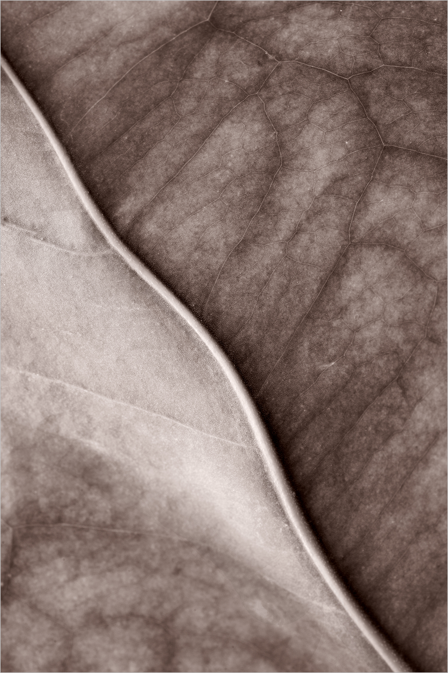 Leaf Close Up #4 Toned © Howard Grill