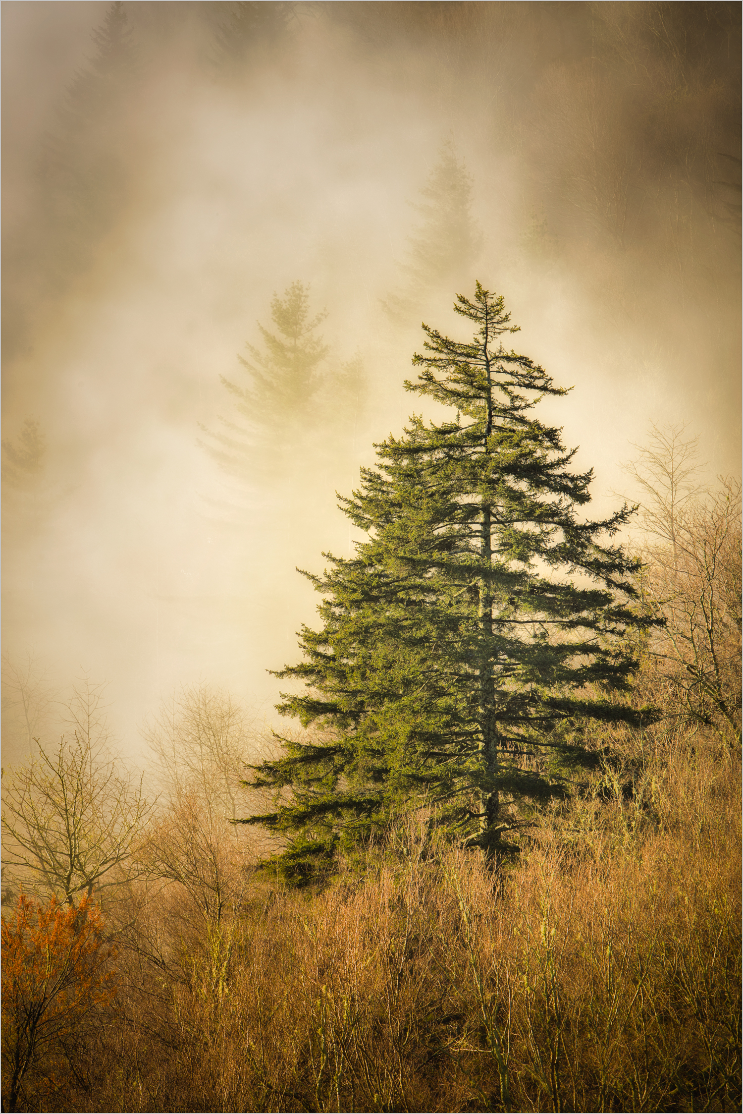 Evergreen In Fog