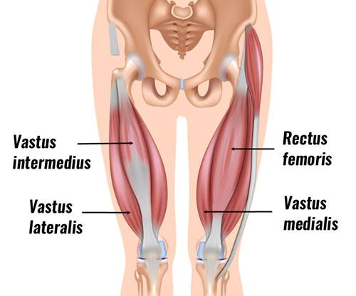 quad-muscles500.jpg