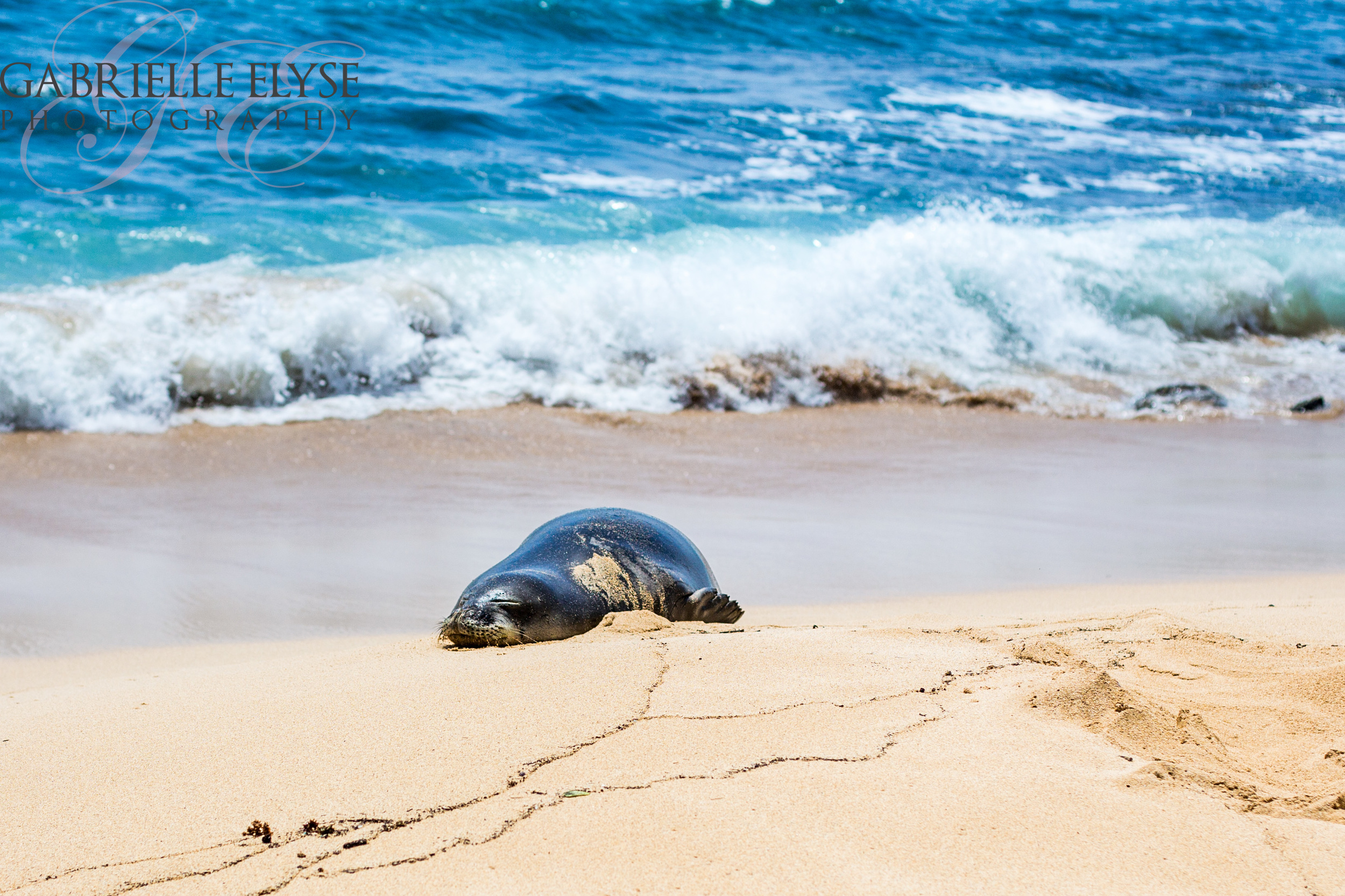 We spotted monk seals several times on the beaches. They are endangered and Kauai does a good job of roping them off with volunteers to help watch them so they can lay out in the sand and sun.