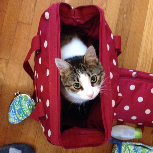 there is a kitten in my carry-on