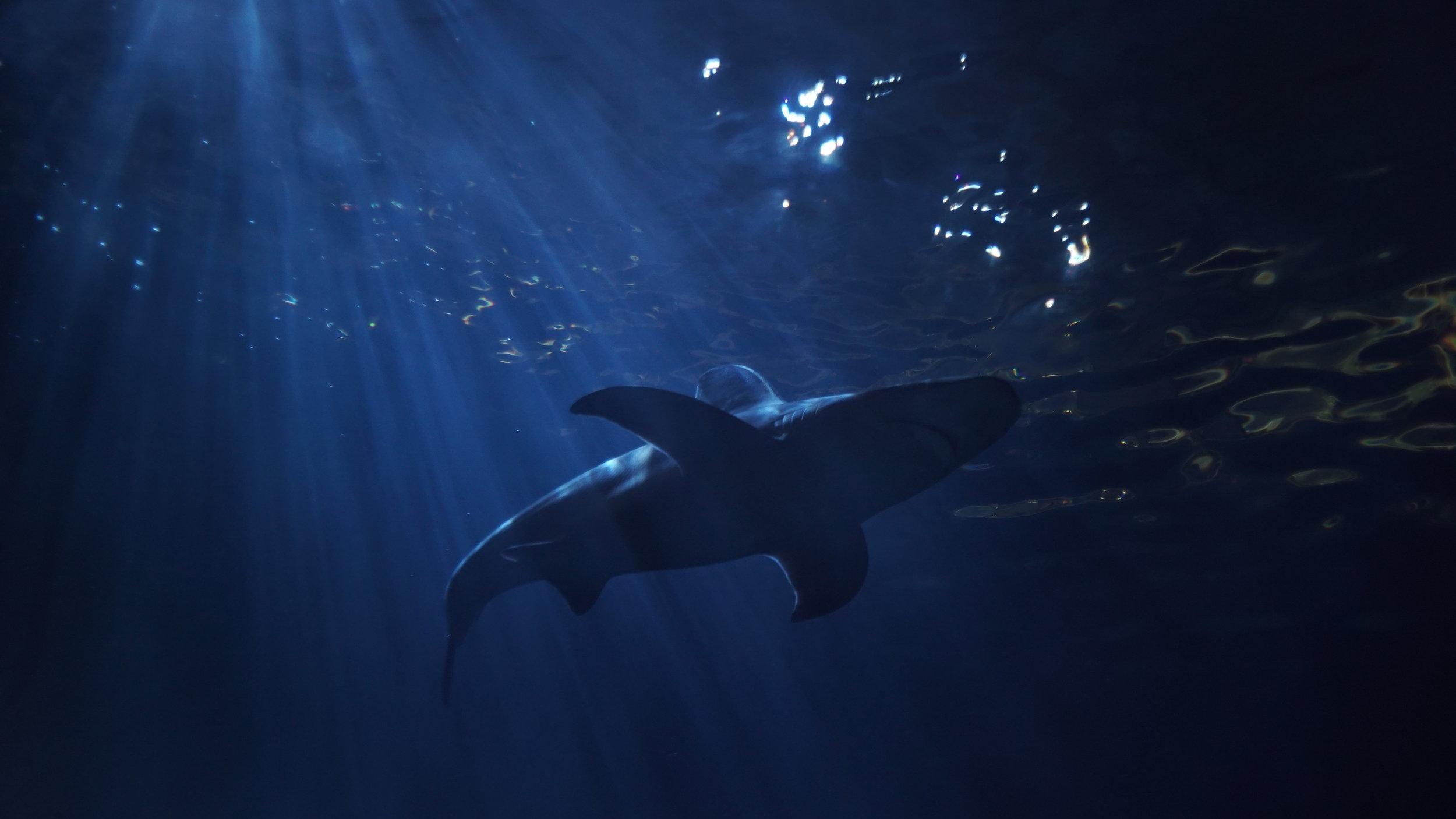 Shark | 37mm