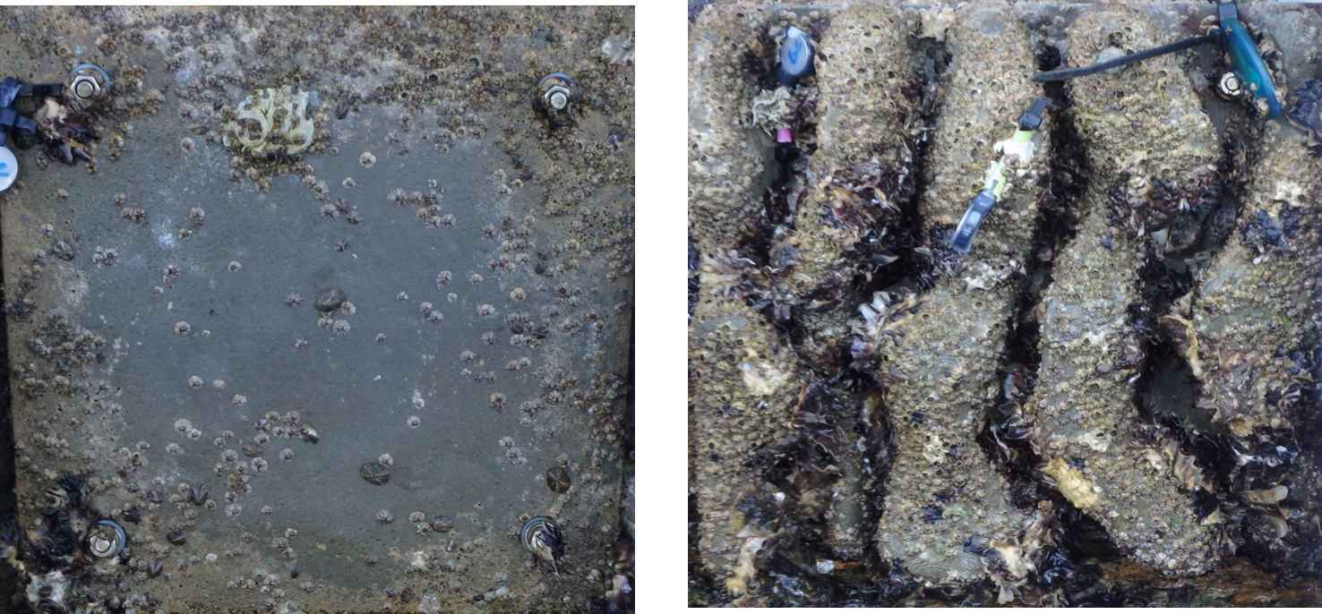 Above: Oyster colonisation rates on a flat concrete seawall compared to a 3D printed habitat seawall. mage courtesy of SIMS
